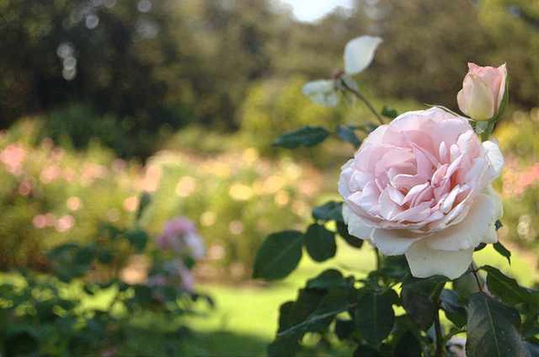 Rose Garden|©Anthony Lopez/ Flickr