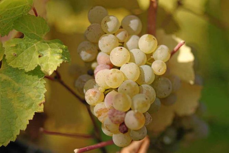 Riesling grapes | © T.o.m.~commonswiki/WikiCommons