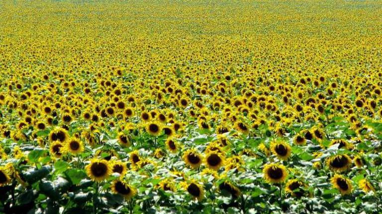 Sunflower Field l © Leszek Kozlowski/Flickr