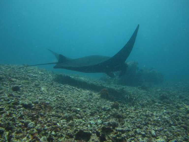 Manta Ray at Komodo | © american_rugbier/Flickr