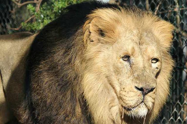 Asiatic Lion | © Mark Kent/Flickr