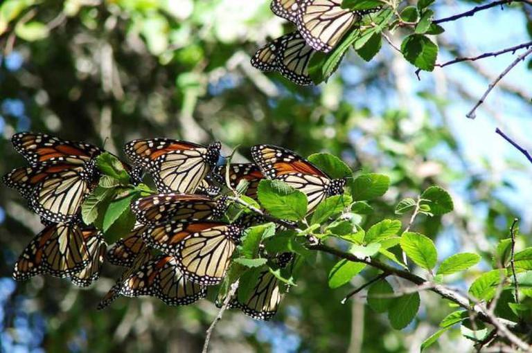 Monarch Butterflies | © Loadmaster/Wikimedia Commons