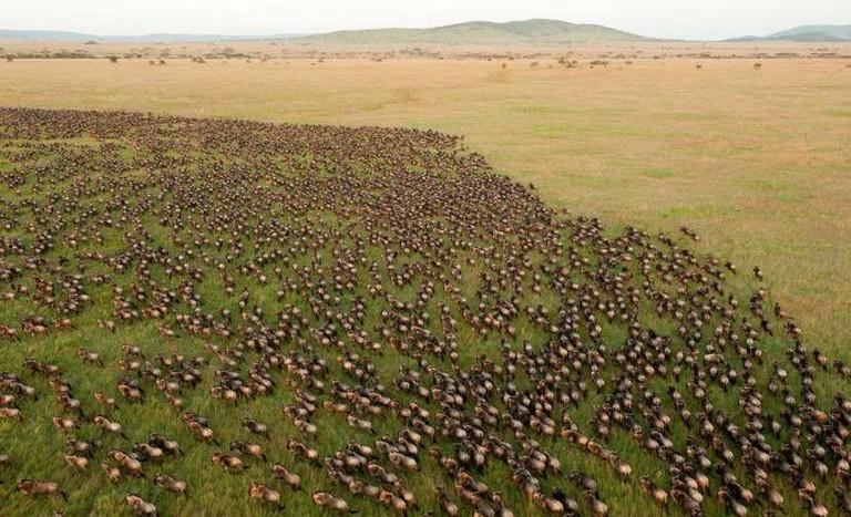 Wildebeest Migration at Serengeti National Park I © Daniel Rosengren/WikiCommons
