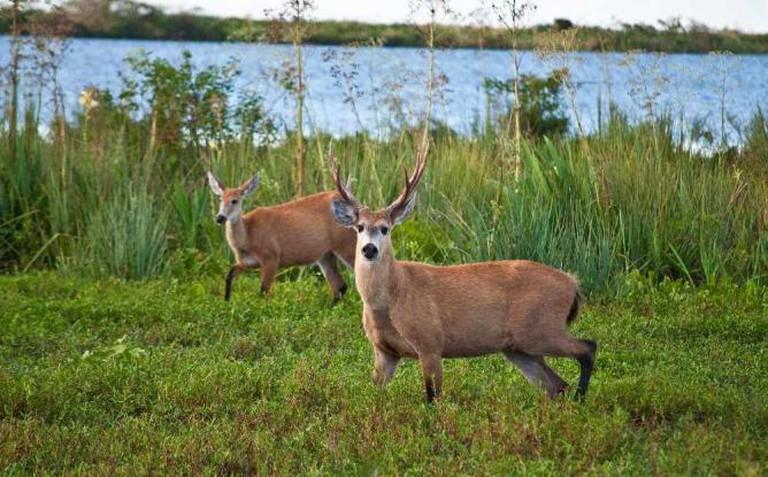 Marsh deer in Esteros del Iberà © Phillip Capper/Flickr