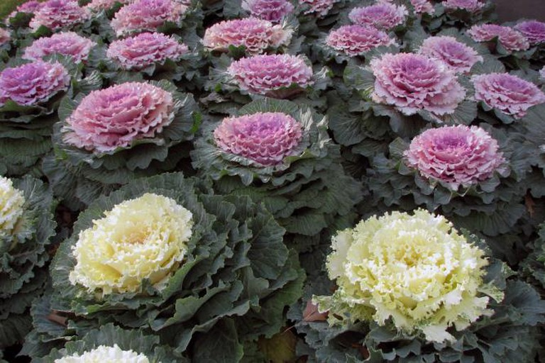 Ornamental kale | © Terren/Wikicommons