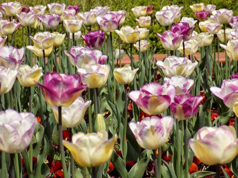 Tulips in Sofia I
