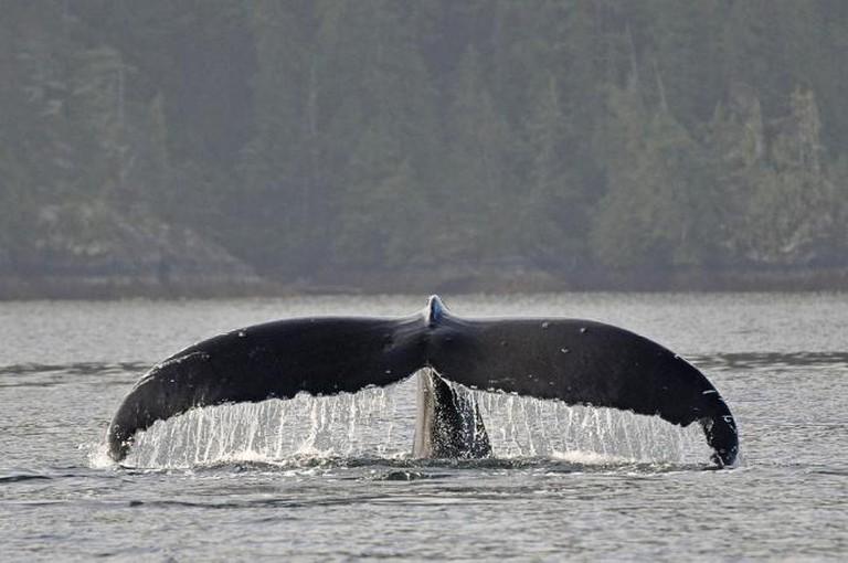 Humpback Whale Vancouver Island