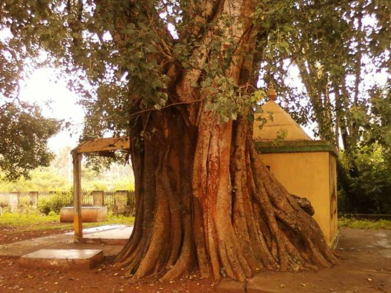 An old peepal tree in Andhra Pradesh | © Adityamadhav83/WikiCommons