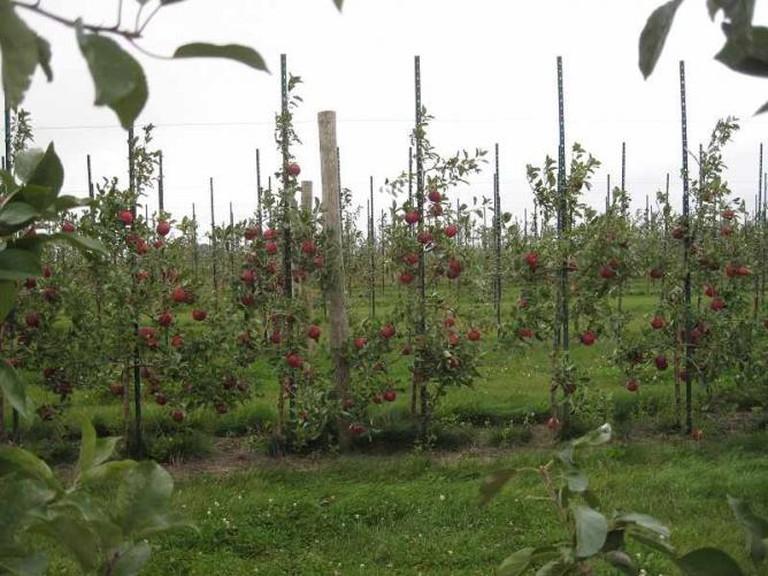 Pazazz Apples | © Carolina Antunes
