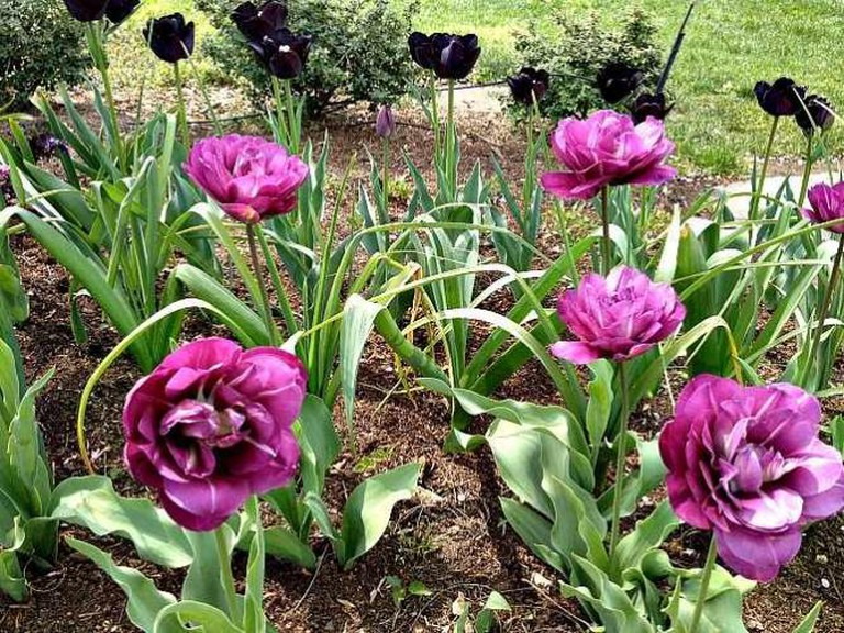 Tulips in Black and Purple | © Jenny/Flickr