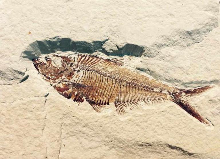 petrified fish fossil l