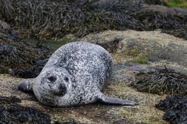 Common Seal spotted at Skye