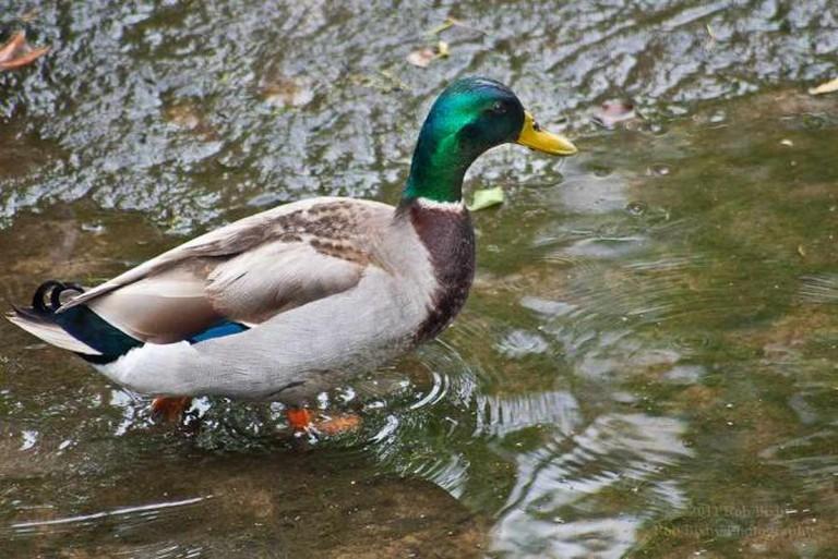 A Jacksonville duck