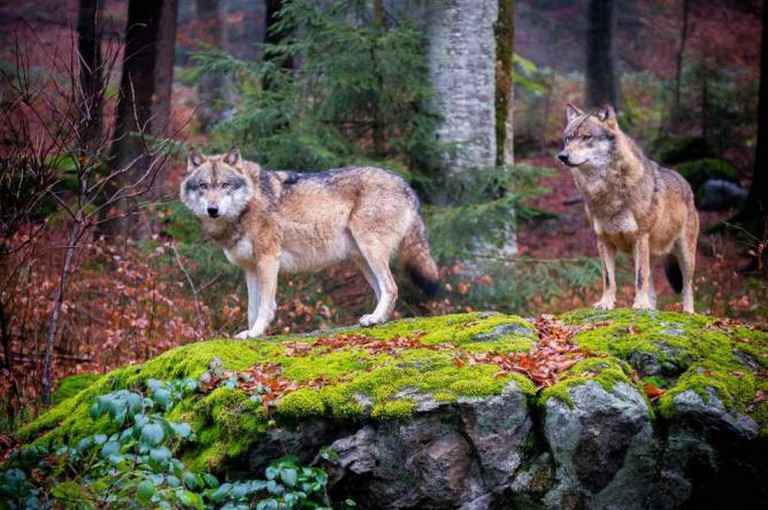 Wolves, Bavarian Forest National Park