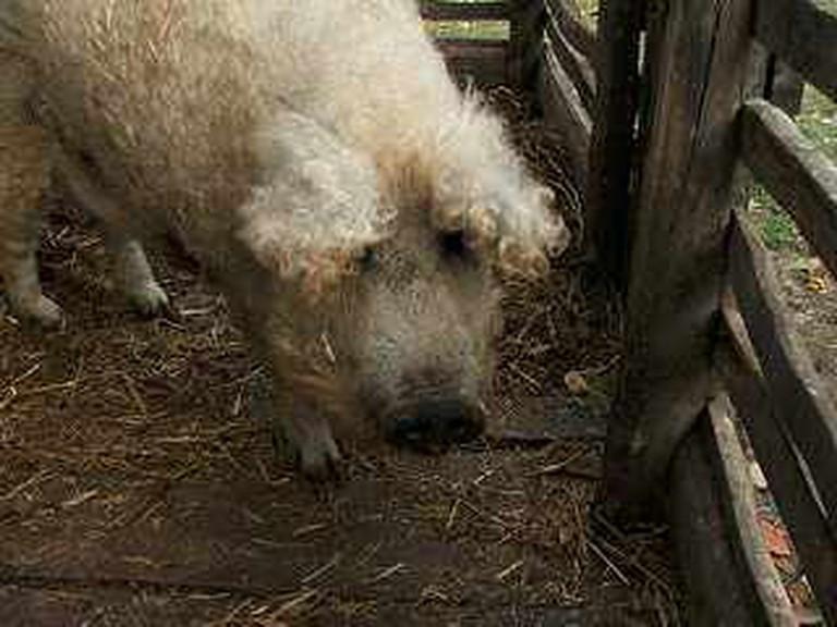 Mangalica, Hungarian bred pig