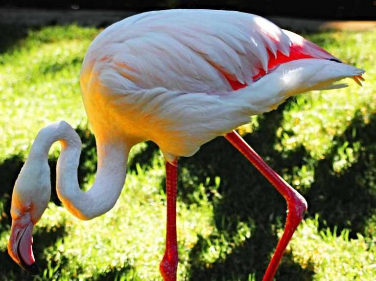 Flamingo © Les Hain/ Flickr