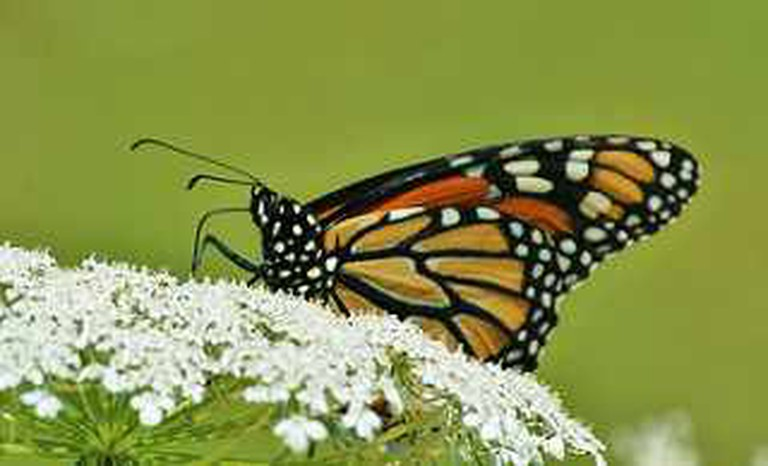 Monarch Butterfly on white flower | © Rock Cut State Park/Flickr