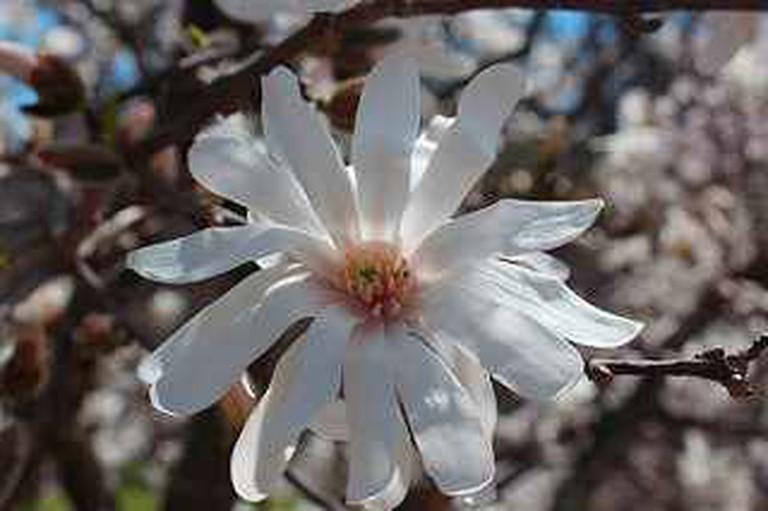 Magnolia | © Klehm Arboretum & Botanic Garden/Flickr