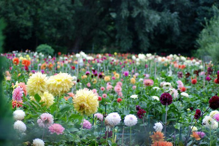 Field of Dahlias in Genneper park
