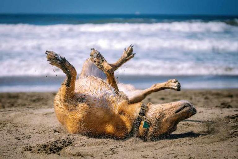 A dog frolicking on Ocean Beach