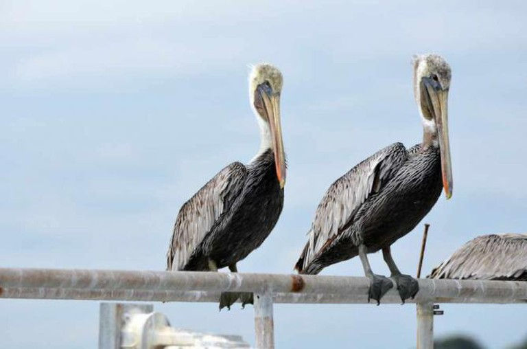 Pelicans on the St. Johns River