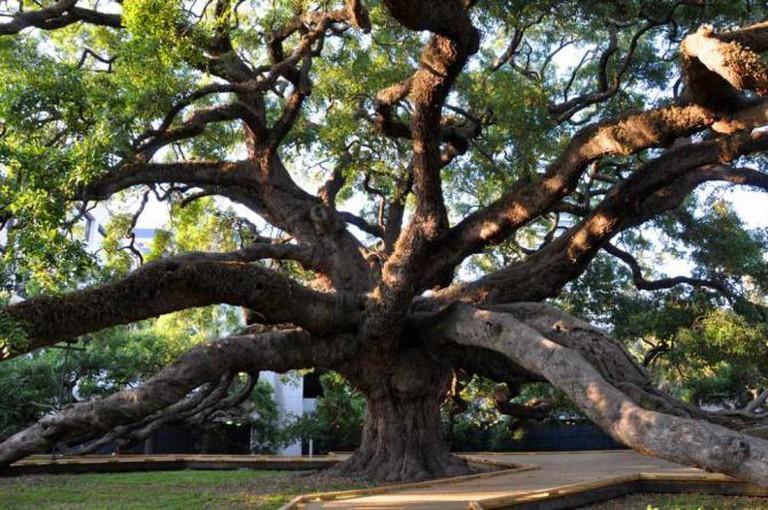 The Treaty Oak