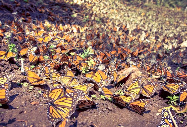 Monarch Butterflies | © Carlos Adampol Galindo/Flickr