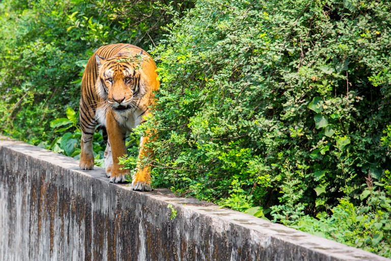 A Royal Bengal Tiger native to the Sundarbans