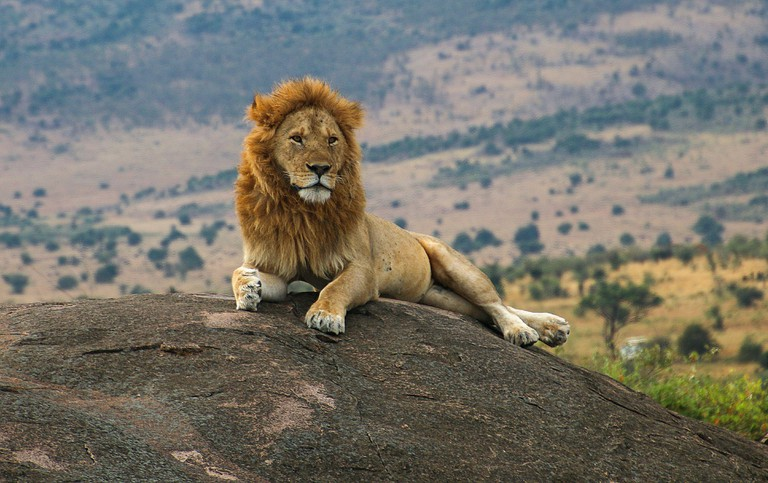Lion on the lookout on a rock Photographed at Ngorongoro Conservation Area (NCA), Tanzania