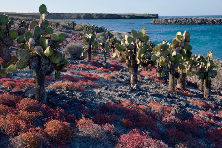 Huge cactus trees and red sesuvium grow on the barren island of South Plaza, Galápagos Islands, Ecuador
