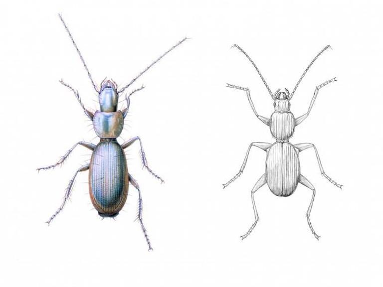 Jasmina Cibic, Situation Anophthalmus hitleri/scientific illustration of Anophthalmus hitleri by Sandra Doyle and Laura Montserrat (2012)