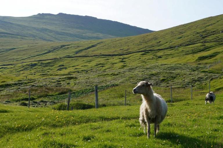 Andrew Kingsford-Smith, Faroese Sheep, 2013