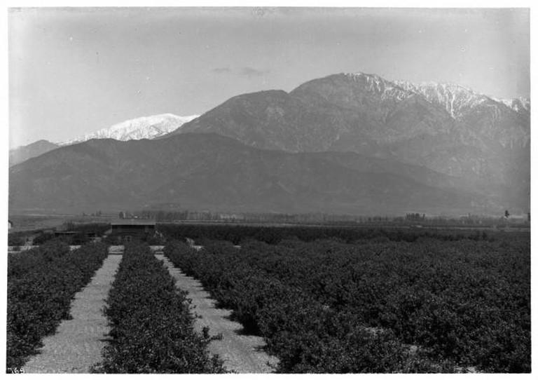 Citrus Groves in Ontario   © USC/Flickr