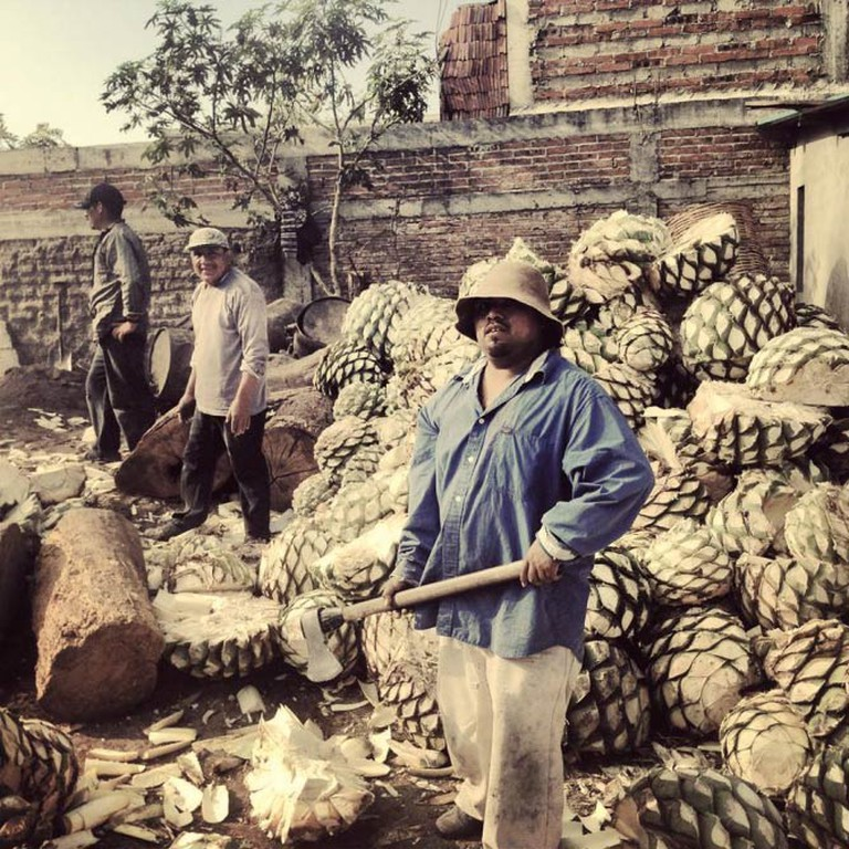 Harvesting the pina plant in Mexico