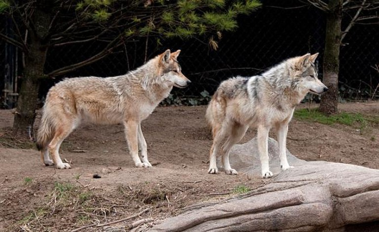 Wolves. Courtesy of Sean Johnson