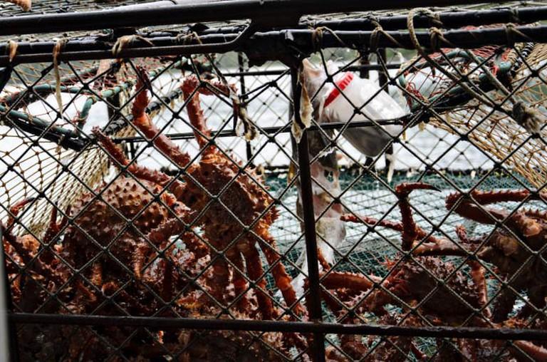 Alaskan king crab