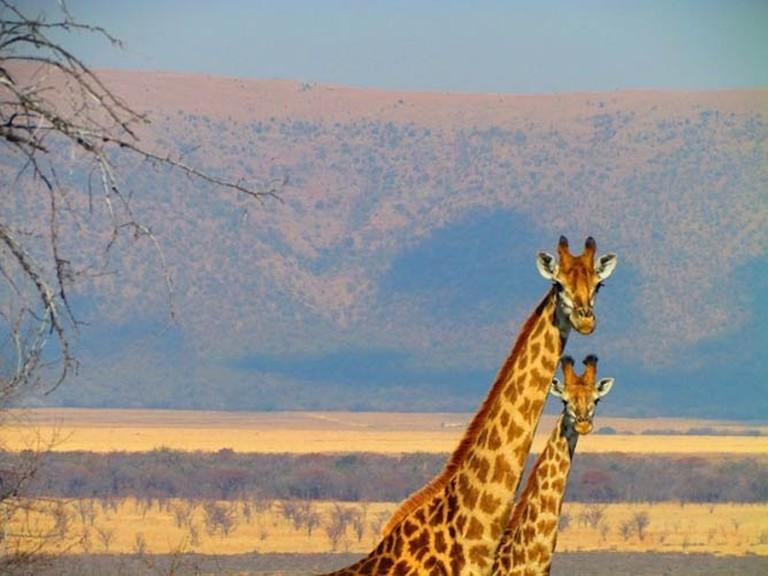 Giraffes, South Africa