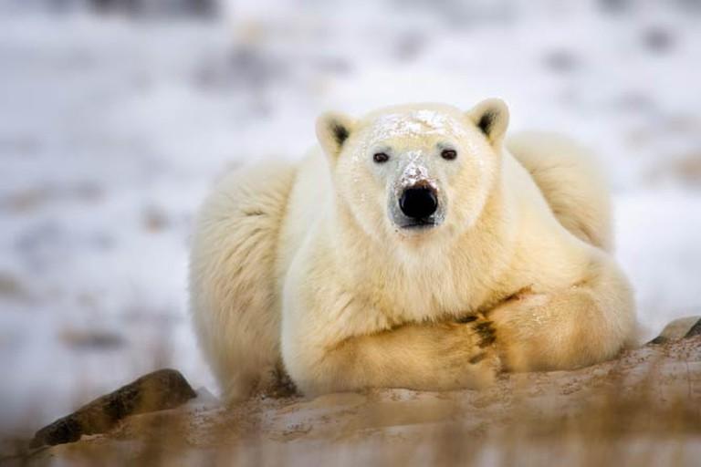 Polar Bear Taking a Break   © Steve Perry / Flickr