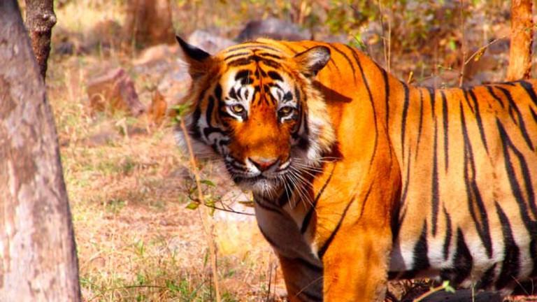 Tiger in Ranthambore National Park, India | © Bjoern, Flickr