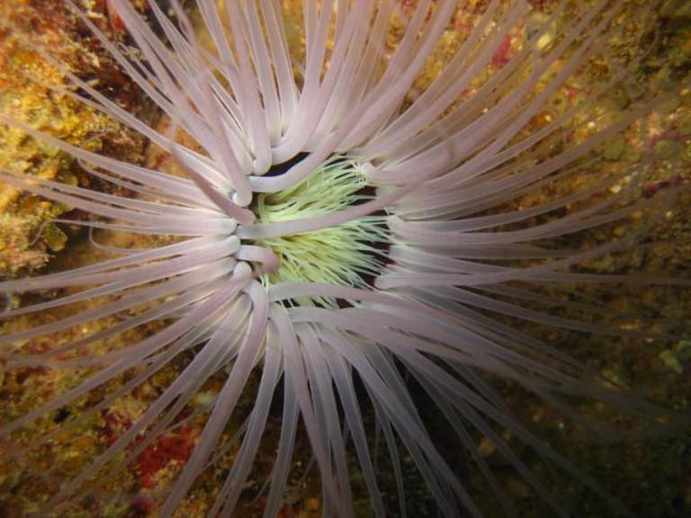 Sea Anemone, Kapas Island