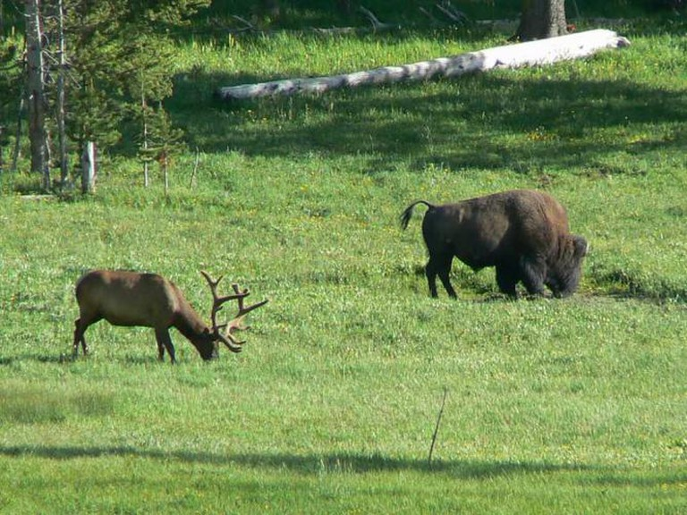 Elk and bison grazing in Yellowstone National Park | © Tim (Timothy) Pearce/Flickr