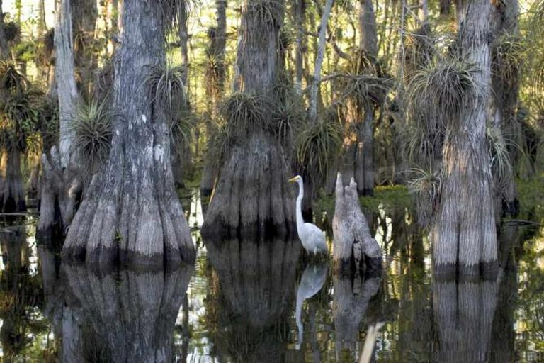 An egret in a cypress grove in the Everglades | © National Park Service/WikiCommons