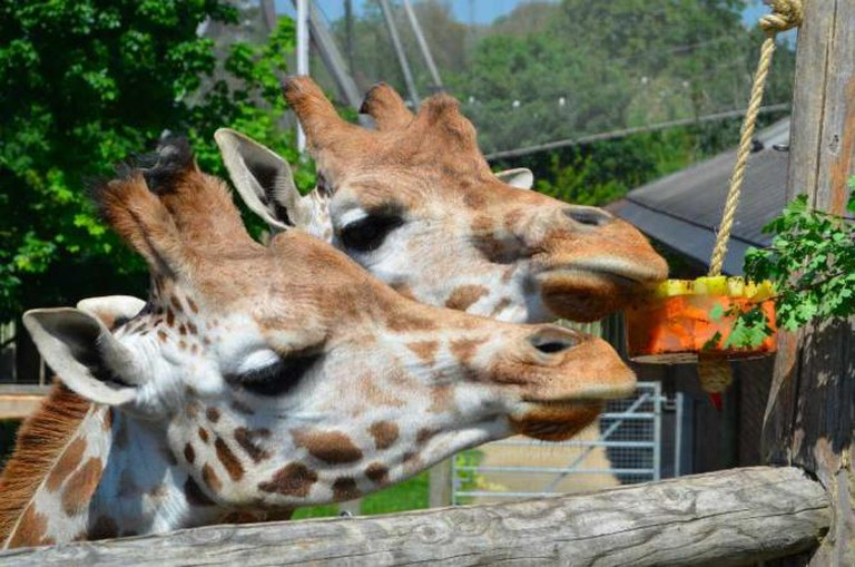 Maggie and Molly enjoy an ice lolly in the sun © ZSL London Zoo