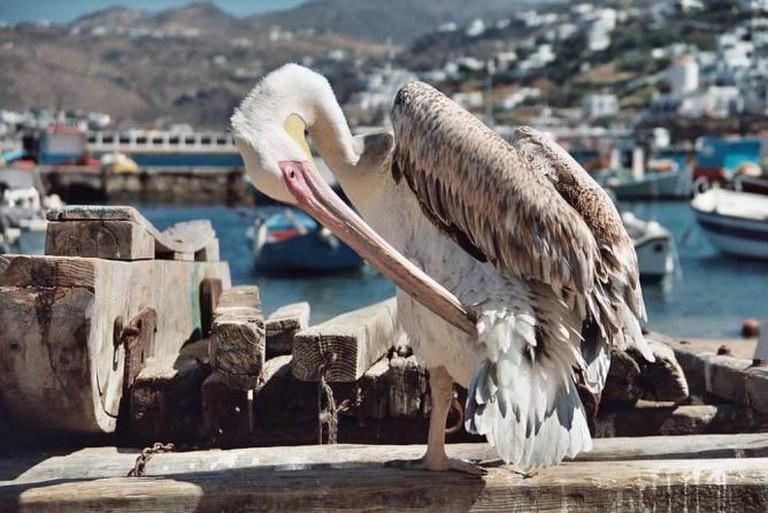 Mykonos pelican   © Heiko Gorski/WikiCommons