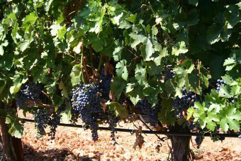 Vineyard | © MPerel/WikiCommons