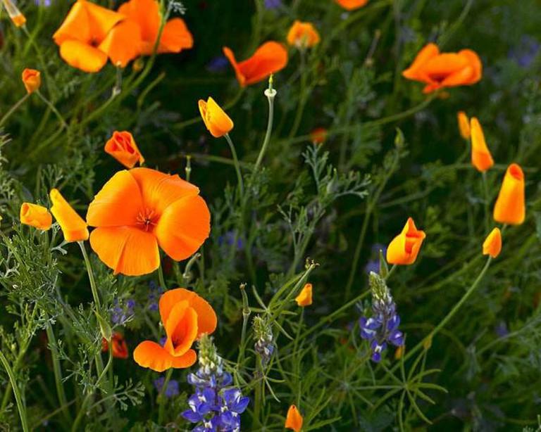 California Poppies © Doug Dolde/Wikimedia