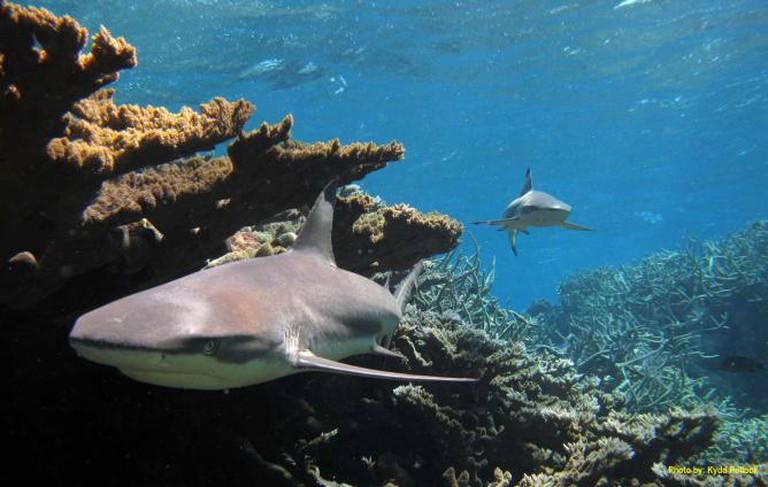 Blacktip Sharks in Palmyra Island reefs  © USFWS – Pacific Region/ Flickr