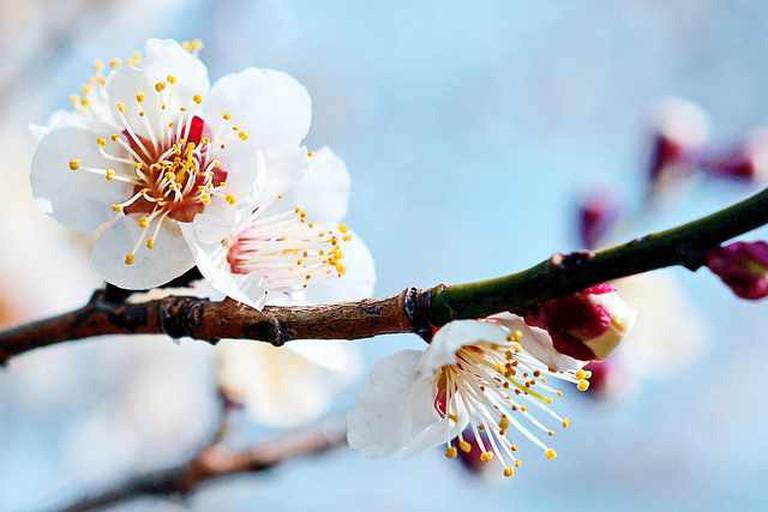 Japanese Plum Blossom © Toshihiro Gamo/Flickr