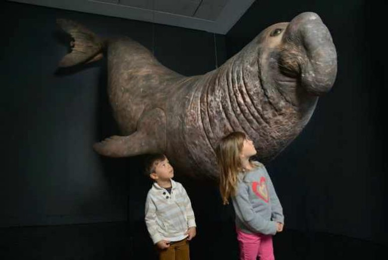 Elephant Seal | Courtesy of The American Museum of Natural History