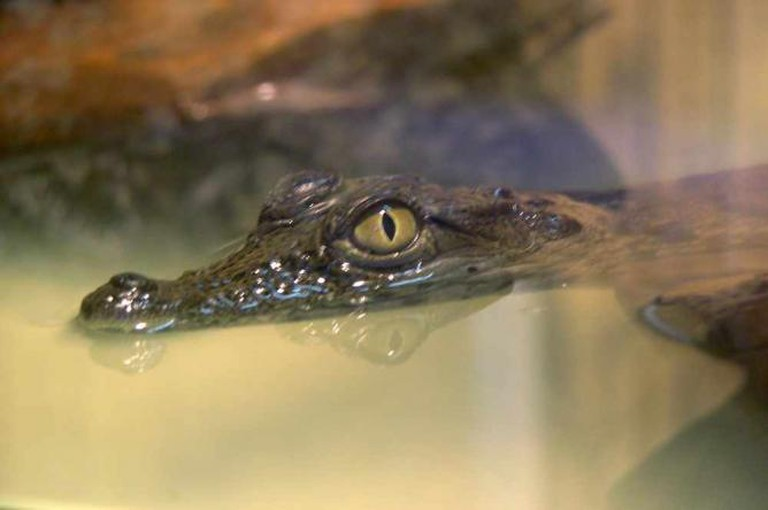Crocodile   © Henning Leweke/Flickr